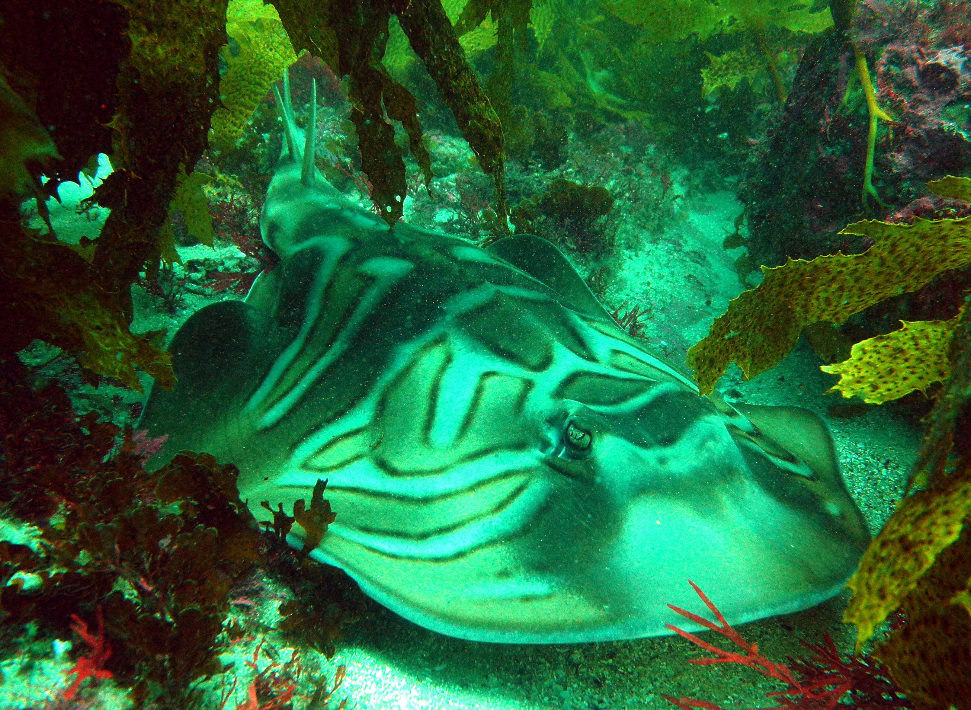 Image of Banjo Shark