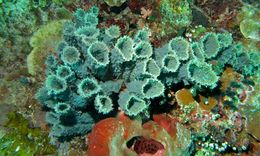 Image of <i>Callyspongia</i> (<i>Cladochalina</i>) <i>aerizusa</i> Desqueyroux-Faúndez 1984