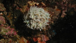 Image of Pearl Bubble Coral