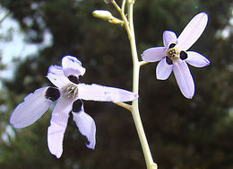 Image of <i>Conanthera campanulata</i> Lindl.