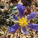 Image of <i>Calydorea xiphioides</i>