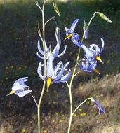 Image of <i>Conanthera bifolia</i> Ruiz & Pav.
