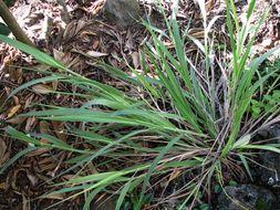 Image of Niihau panicgrass