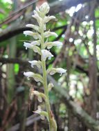 Image of Caribbean False Helmet Orchid