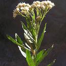 Image of <i>Baccharis racemosa</i> (Ruiz & Pav.) DC.