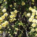 Image of <i>Baccharis patagonica</i> Hook. & Arn.
