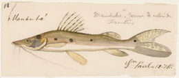 Image of Porthole shovelnose catfish