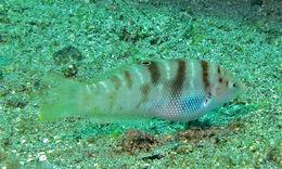Image of <i>Coris batuensis</i> (Bleeker 1856)