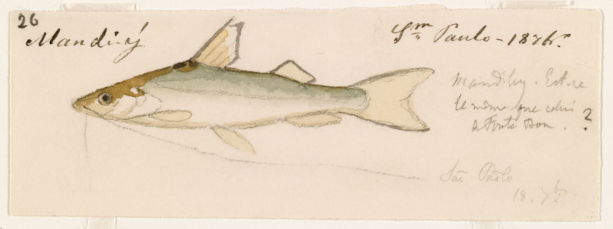 Image of Bloch&;s catfish