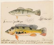 Слика од <i>Cichla monoculus</i> Agassiz 1831