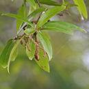 Image of Swamp Laurel Oak