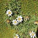 Image of <i>Werneria pygmaea</i> Gill. ex Hook.