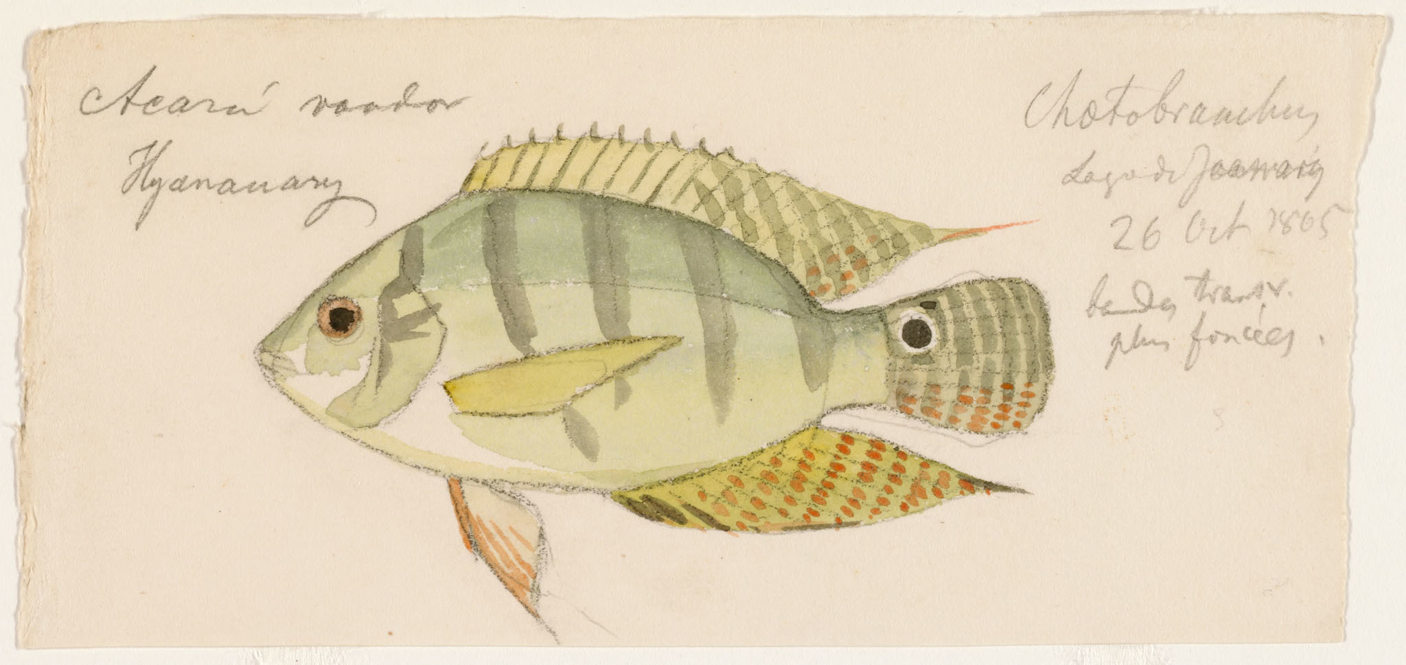 Image of <i>Chaetobranchus semifasciatus</i> Steindachner 1875