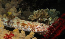 Image of Gracile lizardfish
