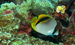 Image of Line Butterflyfish