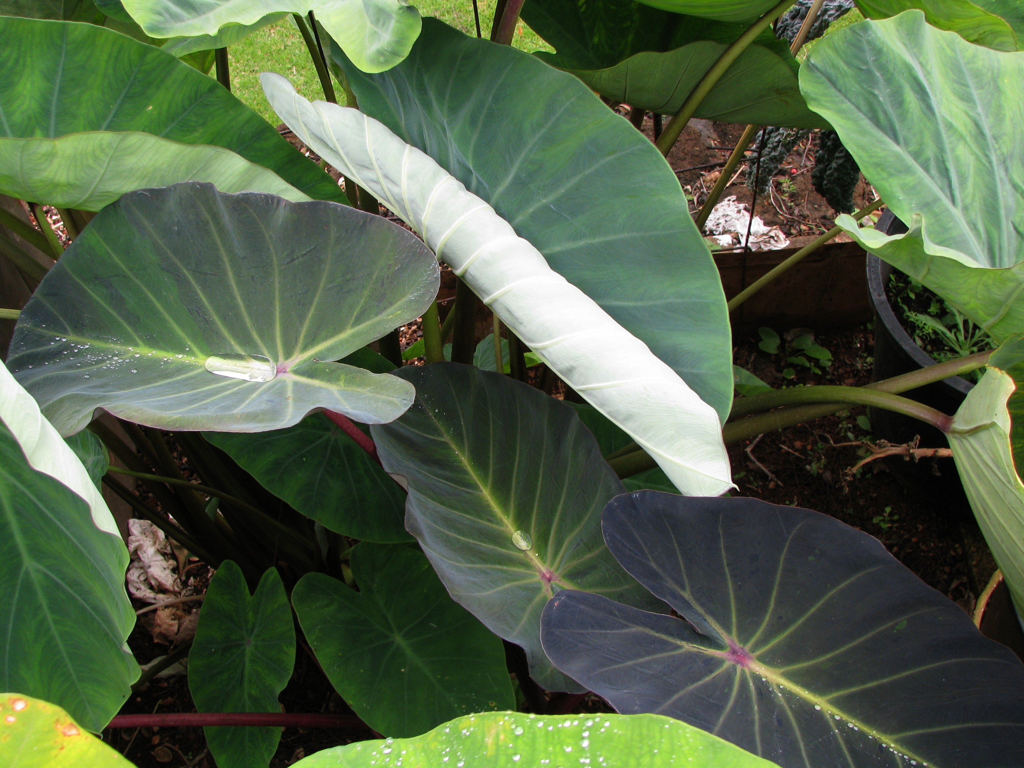 Image of Wild Taro