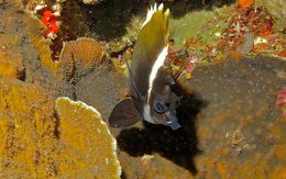 Image of Horned Bannerfish