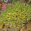 Image of Stony corals