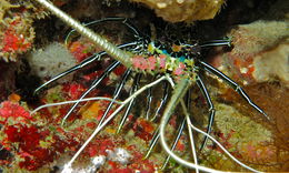 Image of Painted Spiny Lobster