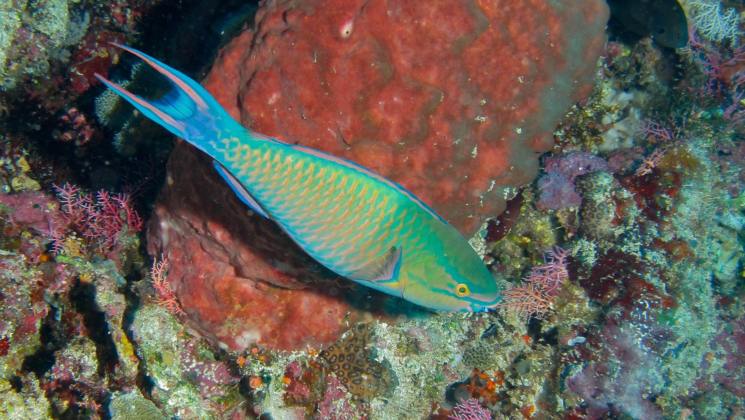 Image of Three-colour Parrotfish