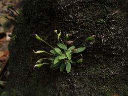 Image of Sherring's cup orchid