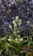Image of <i>Milligania stylosa</i> (F. Muell. ex Hook. fil.) F. Muell. ex Benth.