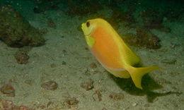 Image of Coral rabbitfish