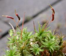 Image of undulate atrichum moss