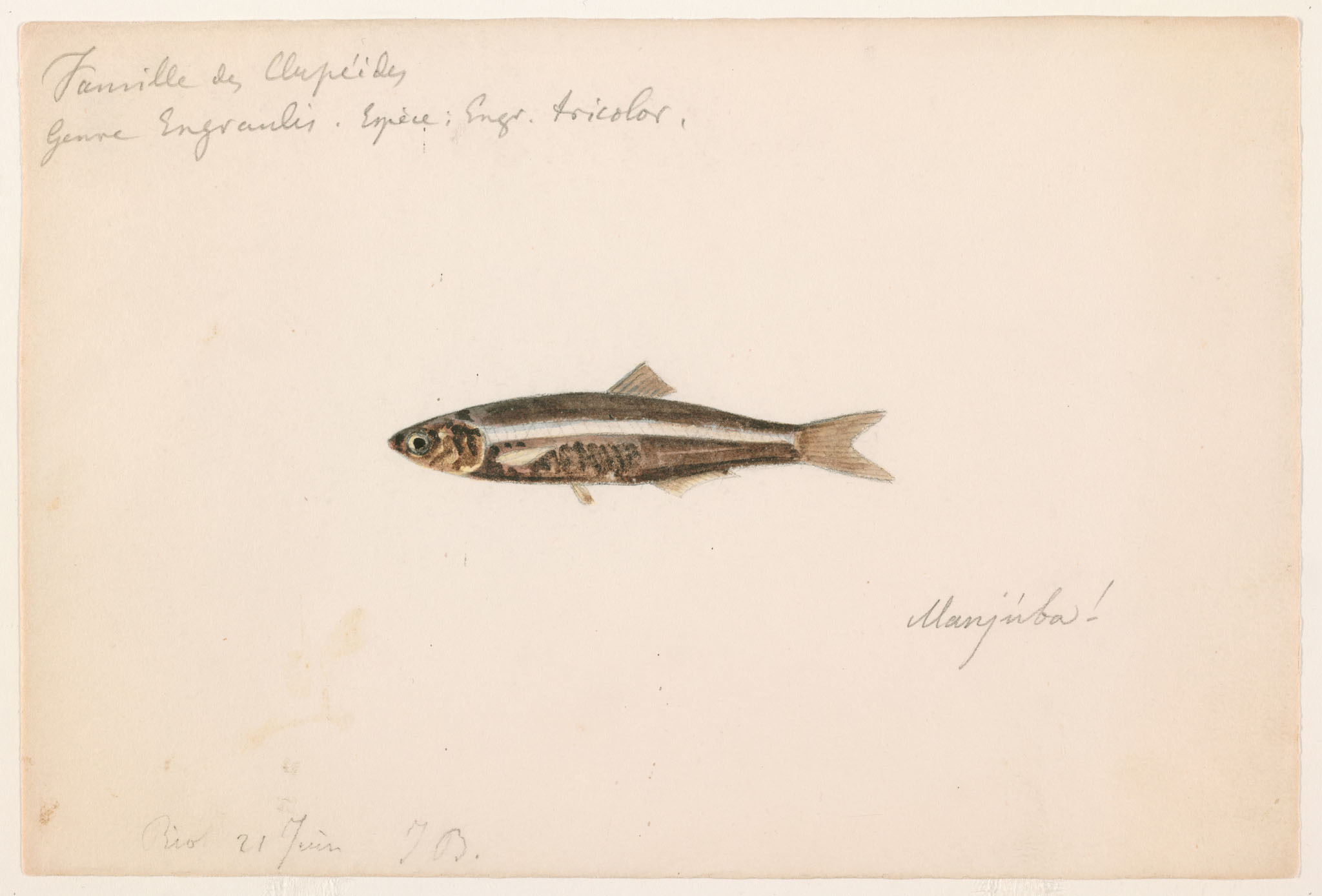 Image of <i>Engraulis tricolor</i>
