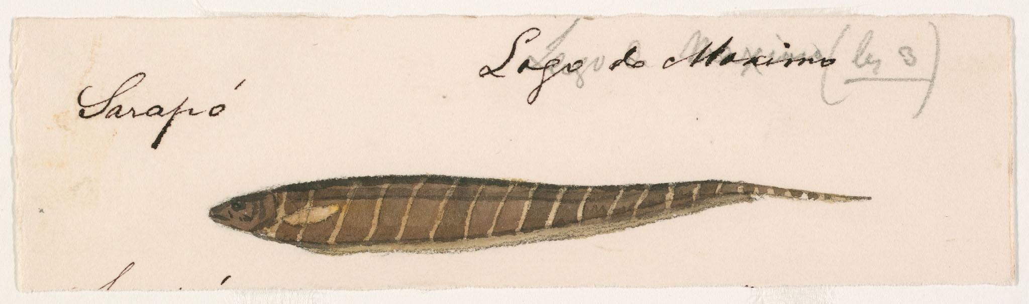 Image of <i>Gymnotus coropinae</i> Hoedeman 1962
