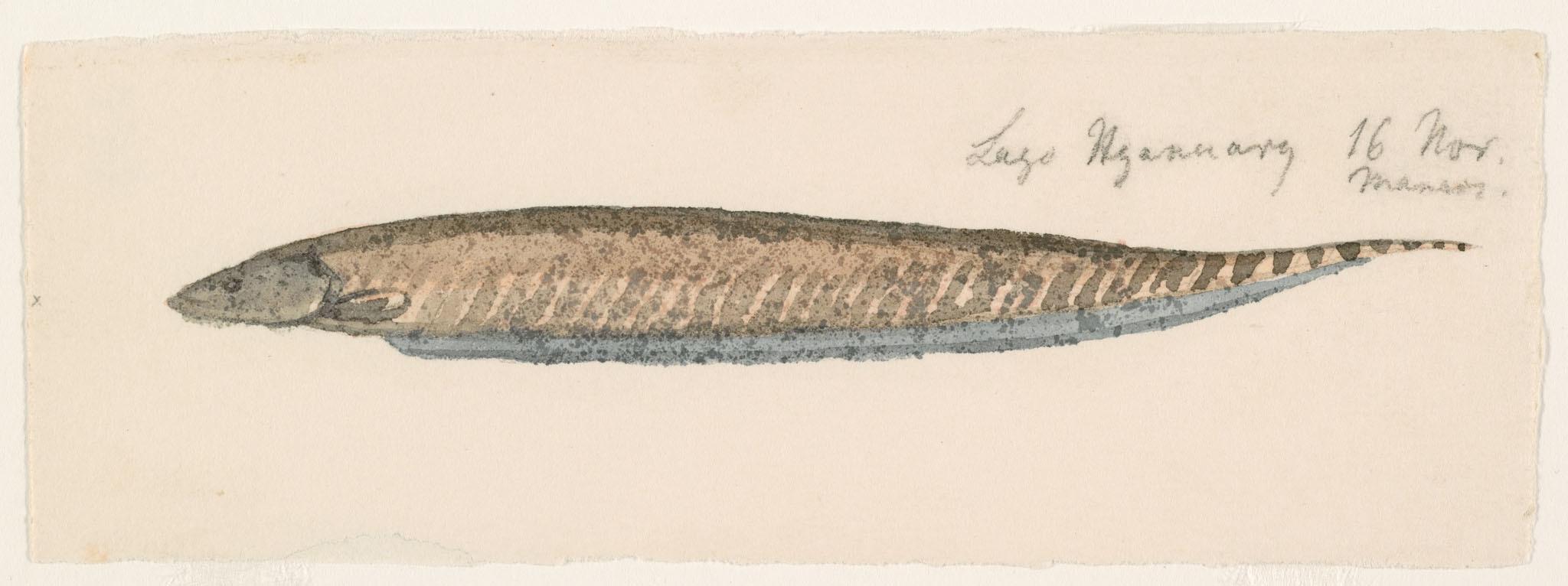 Image of <i>Gymnotus arapaima</i> Albert & Crampton 2001