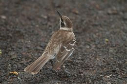 Image of Galapagos Mockingbird