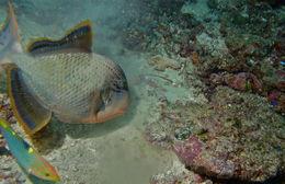 Image of Yellowmargin triggerfish