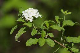 Image of <i>Lantana peduncularis</i> Andersson