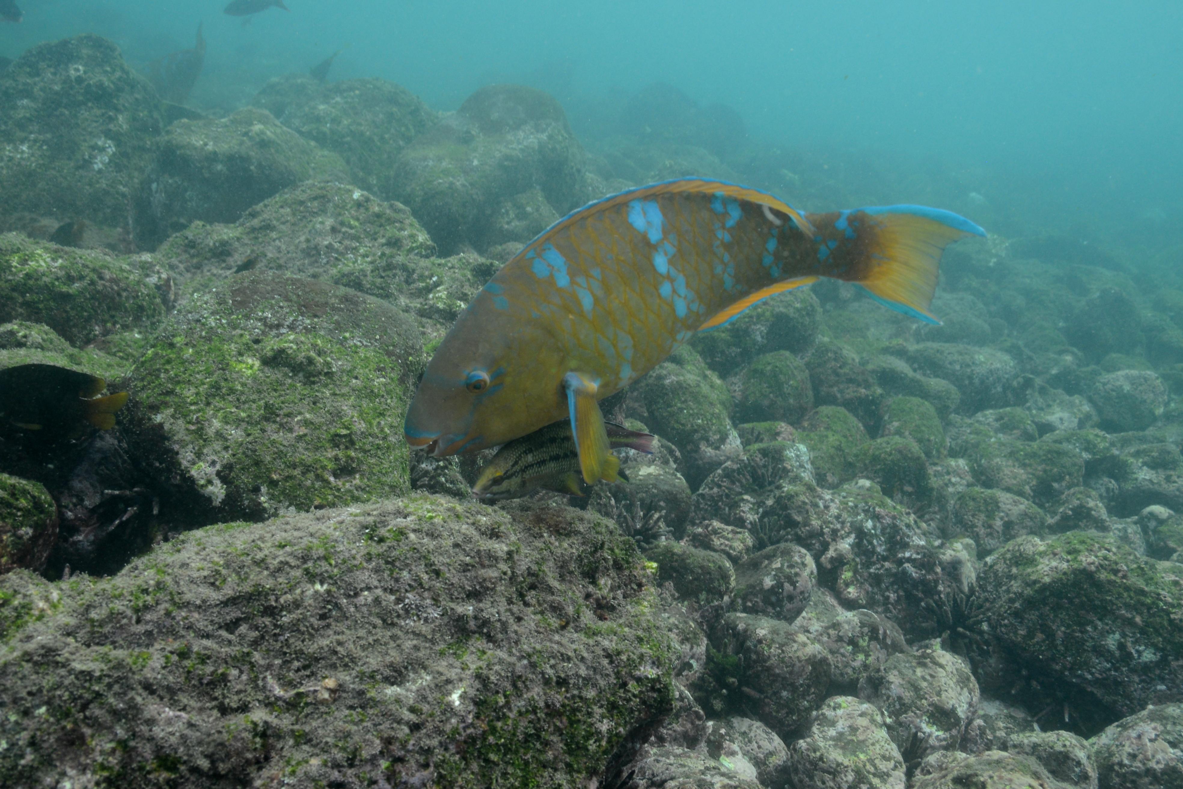 Image of Blue Trim Parrotfish