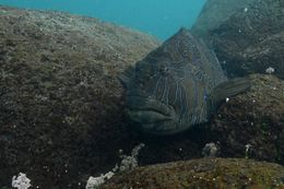 Image of Giant Hawkfish