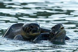 Image of Pacific green sea turtle