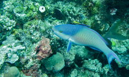 Image of Blue Parrotfish