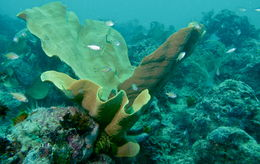 Image of Elephant ear sponge