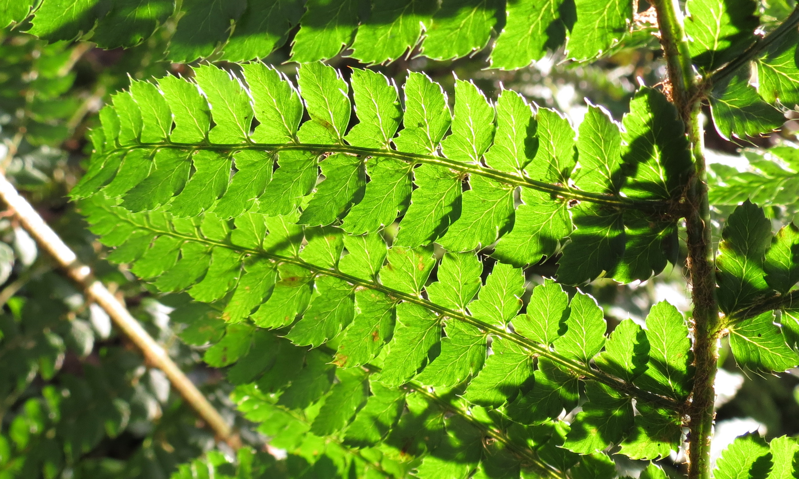 Image of Soft Shield-fern