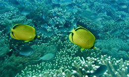 Image of Decorated Butterflyfish