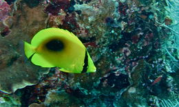 Image of Mirror Butterflyfish