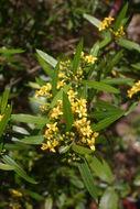 Image of <i>Tristania neriifolia</i> (Sieber ex Sims) R. Br.