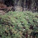 Image of <i>Borya septentrionalis</i> F. Muell.