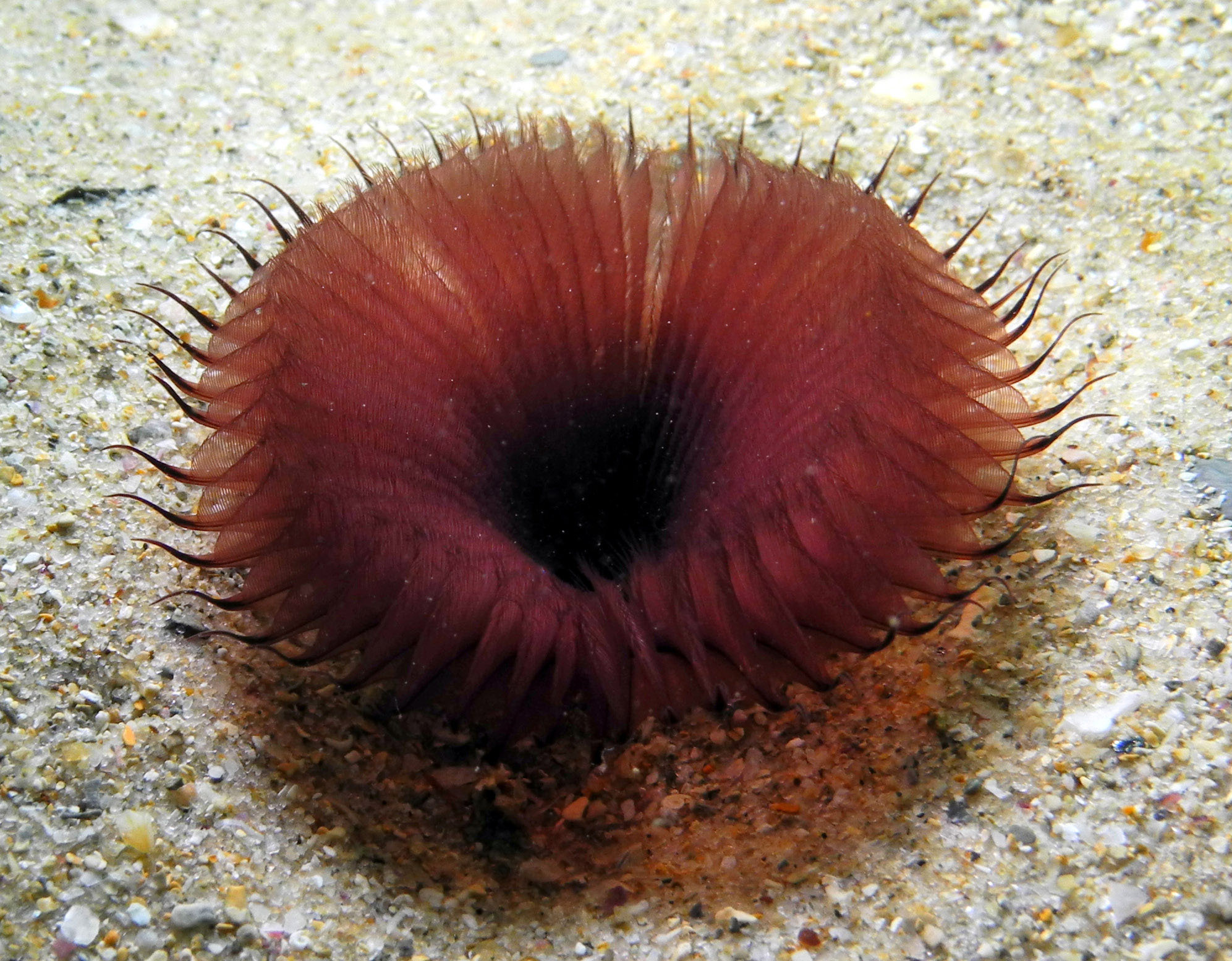 Image of Bristle Worm