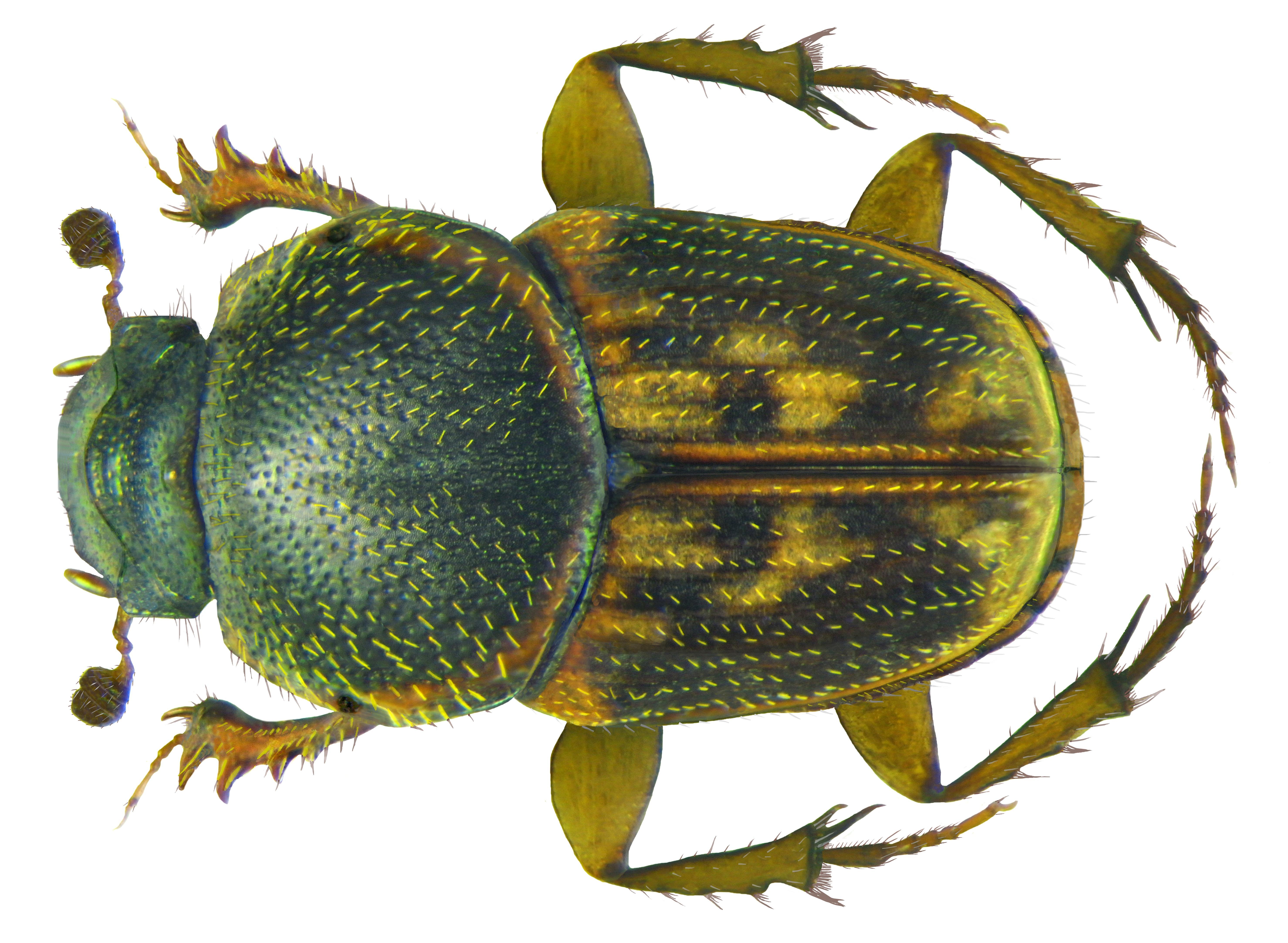 Image of <i>Euoniticellus parvus</i> (Kraatz 1895)