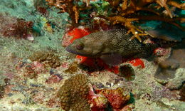 Image of Speckled-fin Rockcod