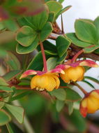 Image of Magellan barberry