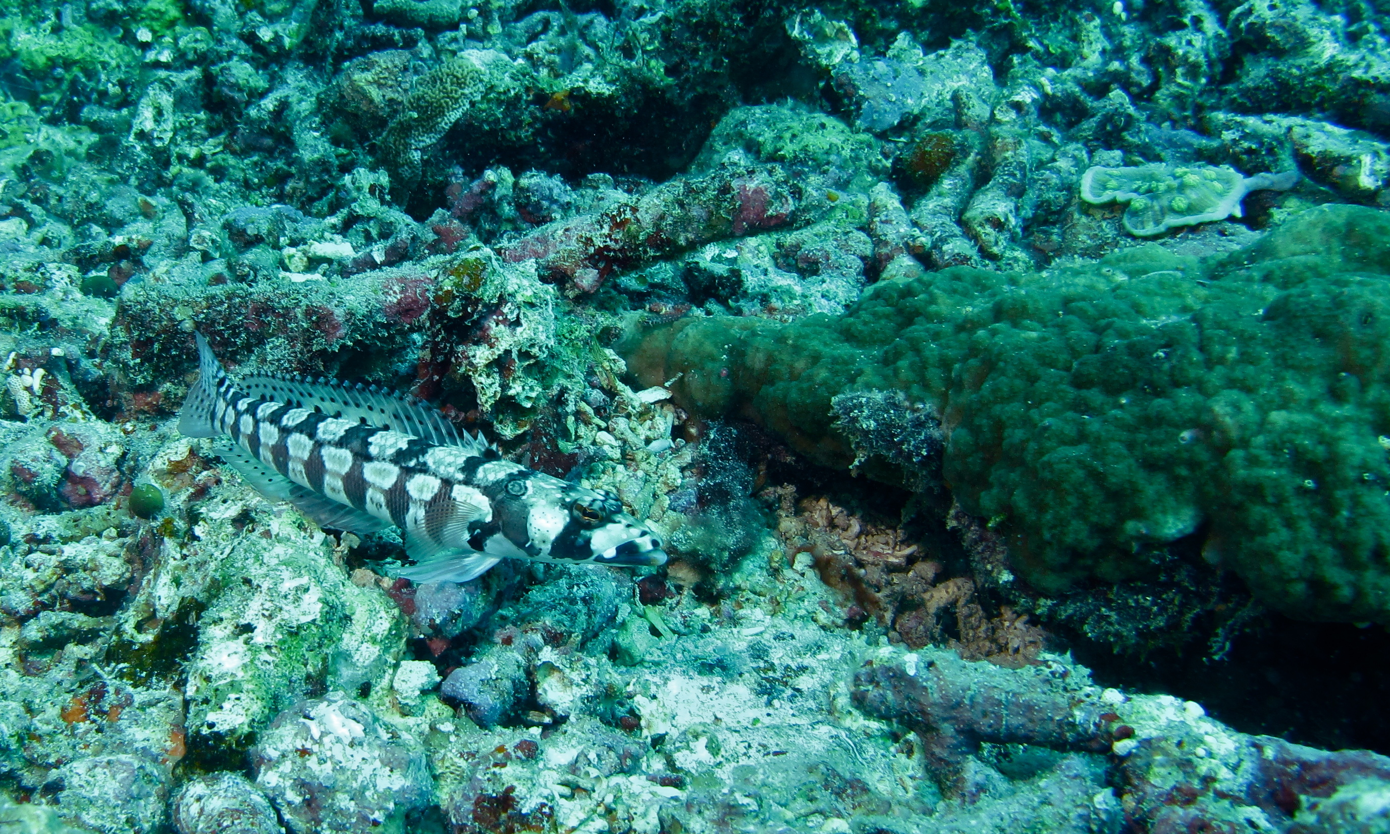 Image of Reticulated sandperch
