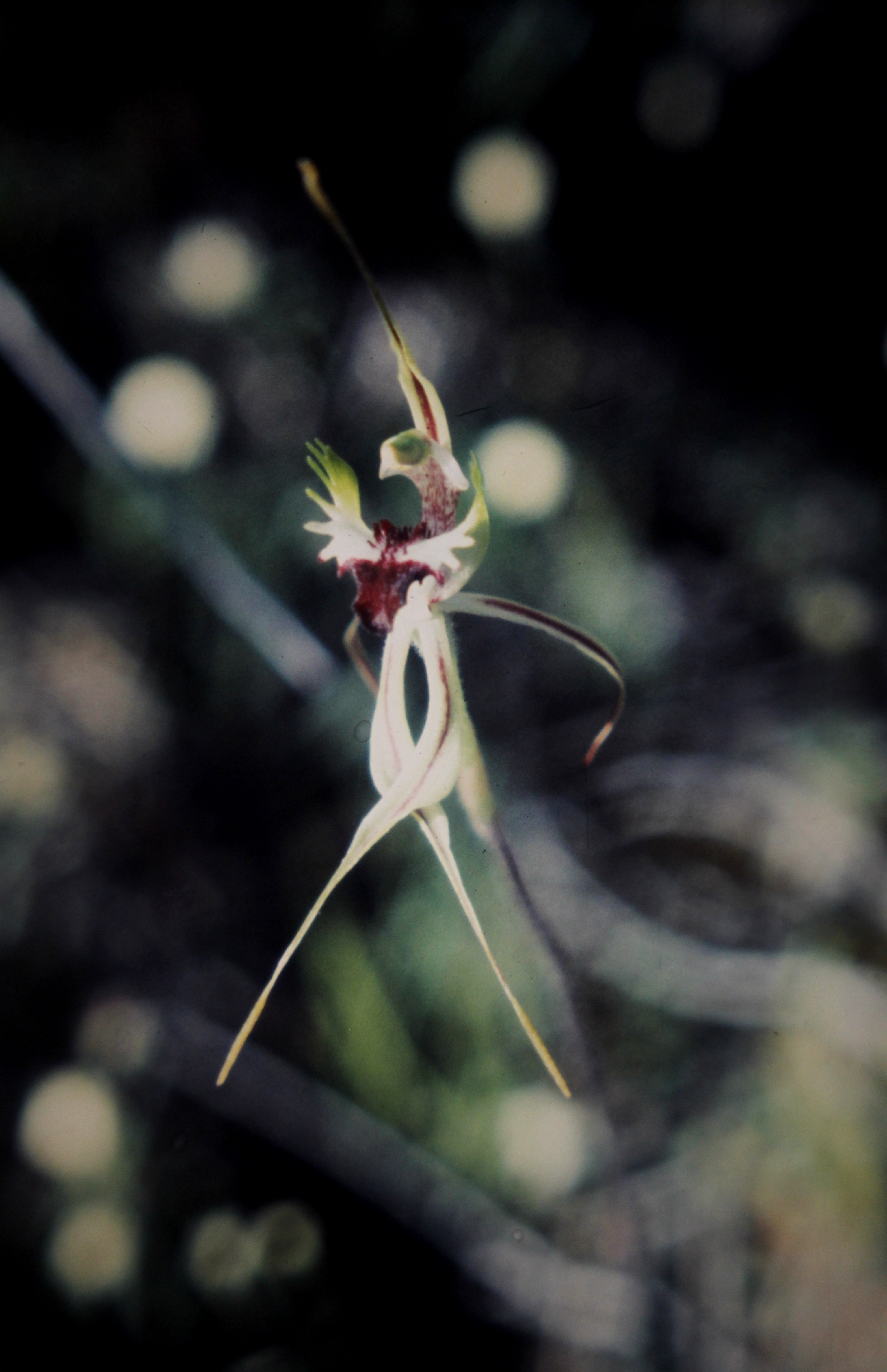 Image of Eastern Mantis Orchid